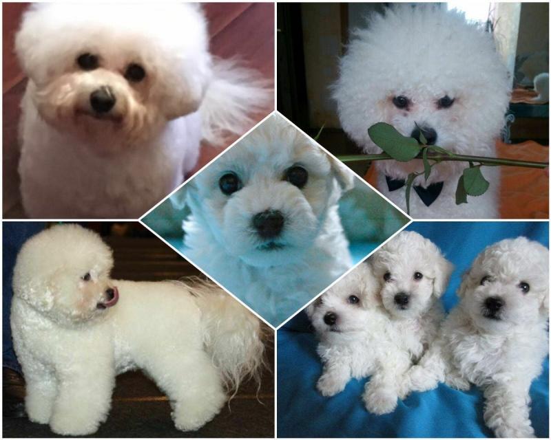 Гипоалергенные собаки Бишон фризе