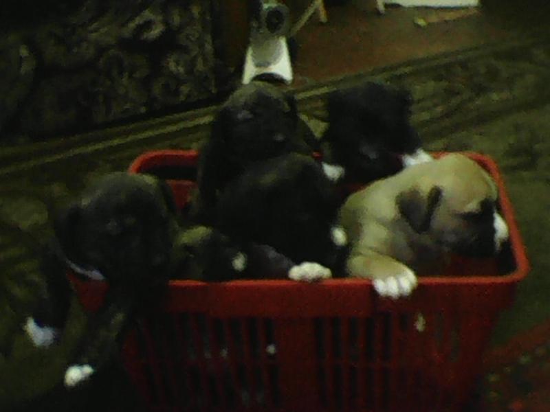 продаются щенки-метисы (отец-кавказец, мать  -стафф родились 06.01.2018. -------