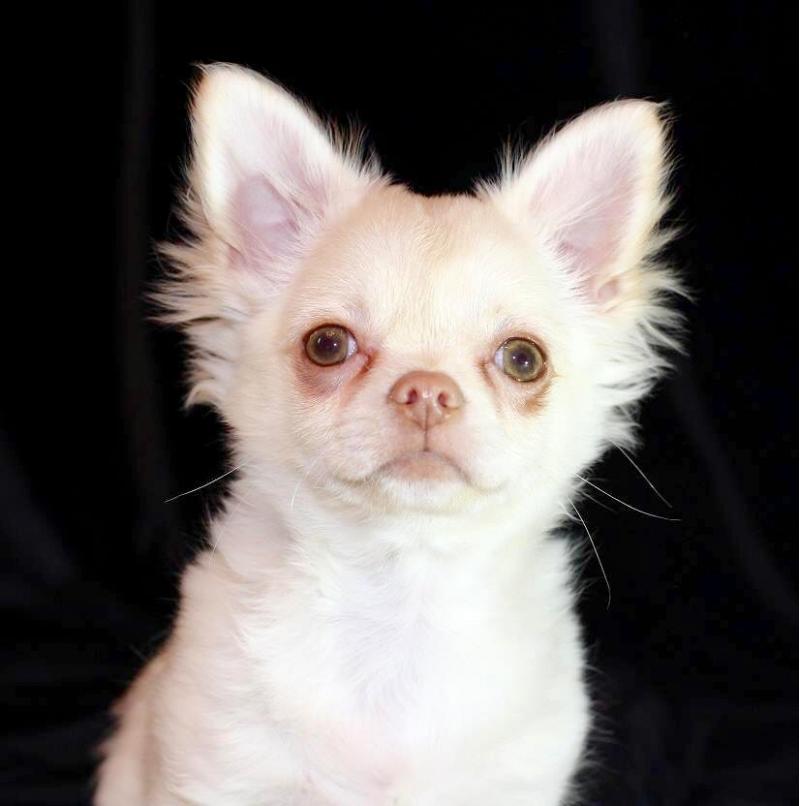 Продаю щенка чихуахуа