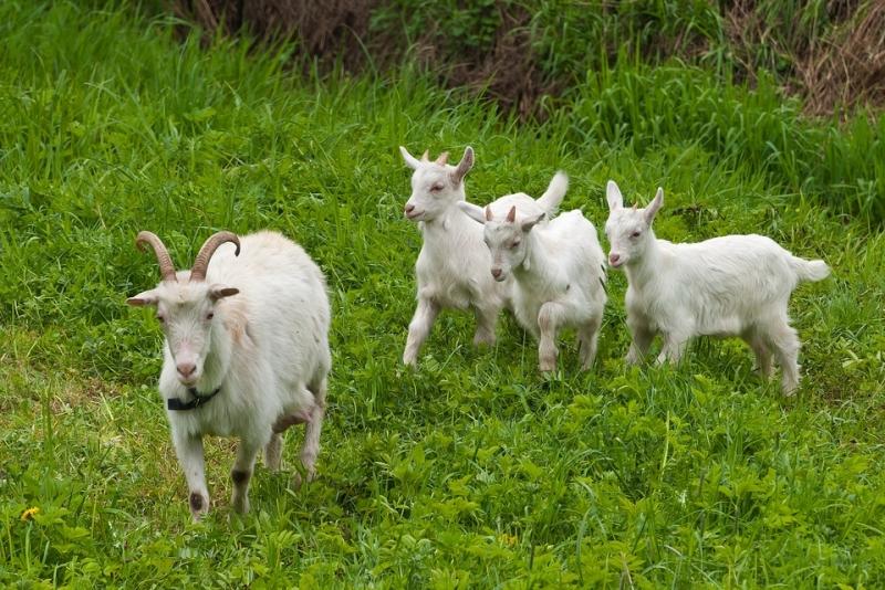 Продаются козы (в т.ч. дойные)