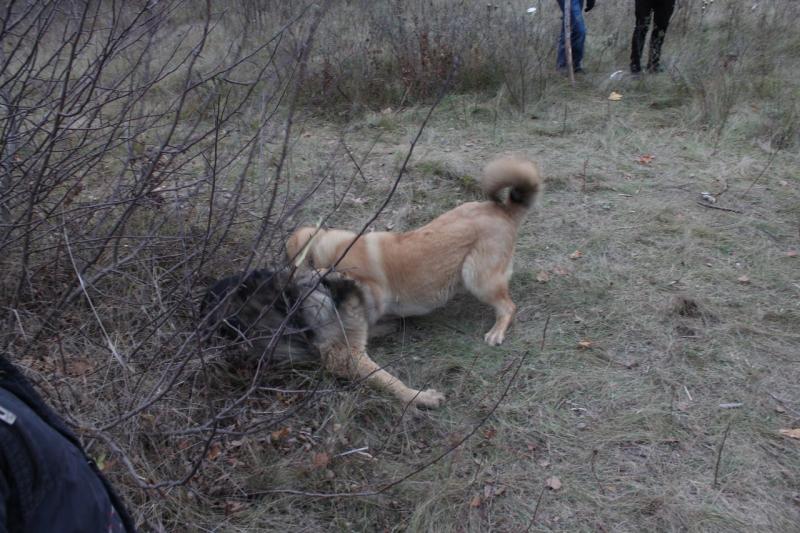 Кавказские овчарки разного возраста