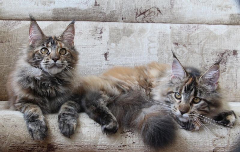 Продаются подросшие кунята. девочки-черепашки и один котик чёрного окраса