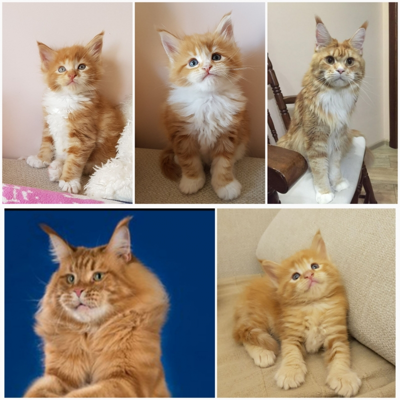 Солнечные котята Мейн кун