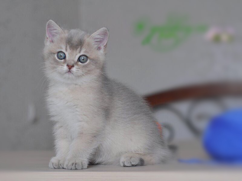 Котёнок голубое золото ay11