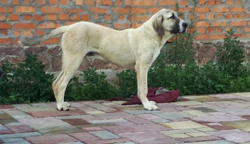 Анатолийская овчарка (кангал) - чистокровные щенки