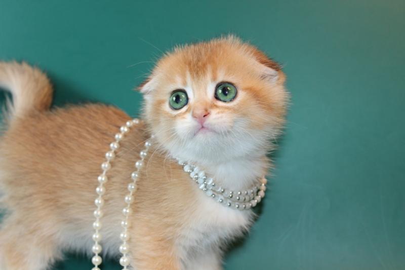 вислоухие котята редкого окраса