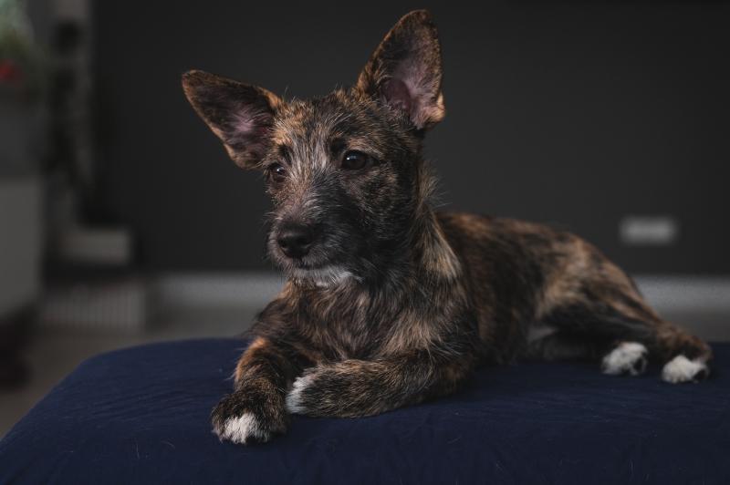 Метис щенок