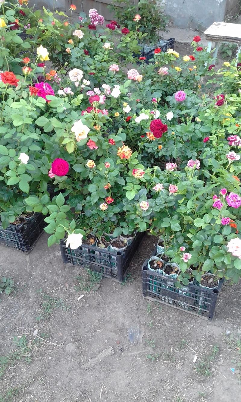 Саженцы роз оптом в контейнерах