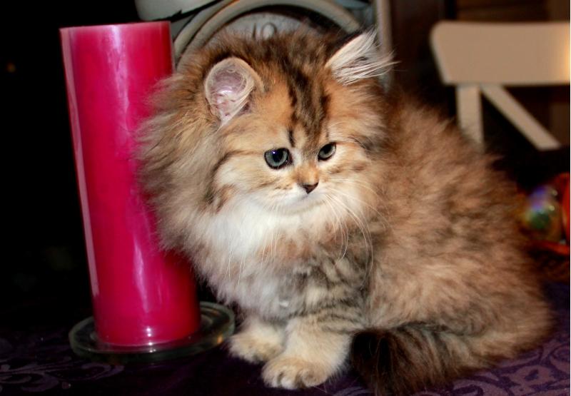 Персидские классические котята золотистого окраса