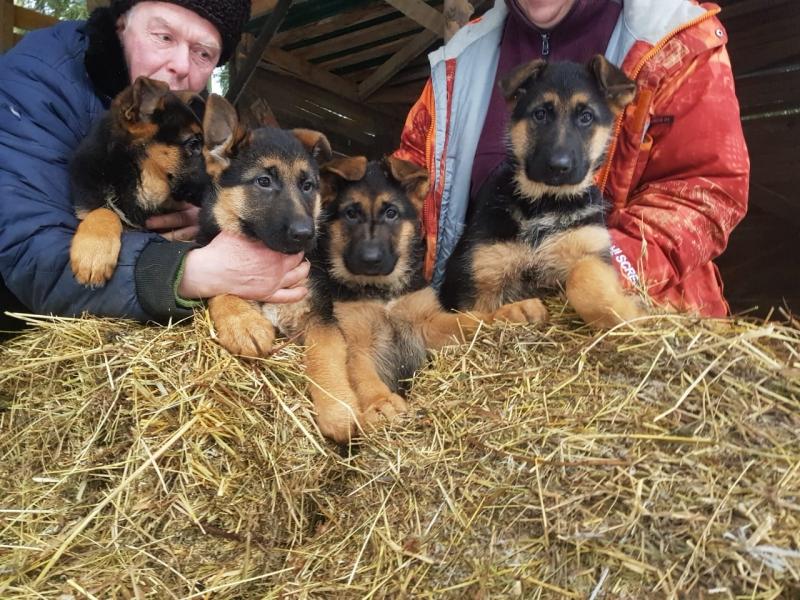 Щенки немецкой овчарки