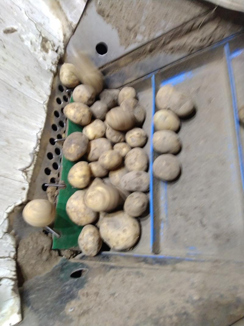 картофель оптом 5+ 2 сорт в Татарстане сорт ГАЛА
