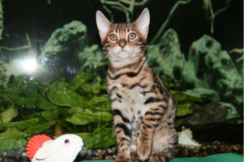 Чистокровный бенгальский котенок