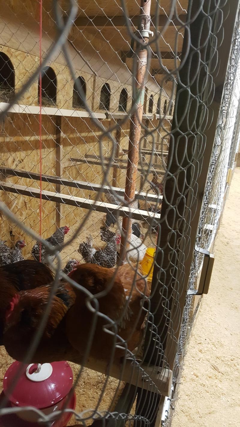 Продам яйцо инкубационное или цыплят Ароуканы, Мараны, Павловские и т.д