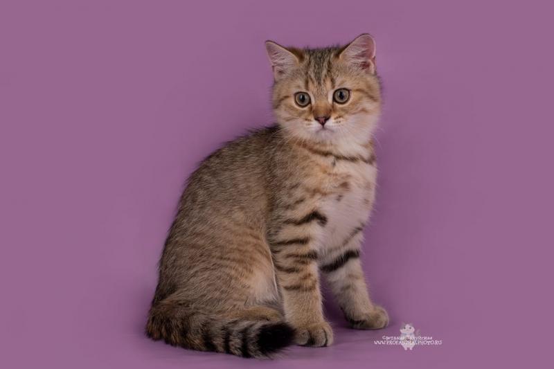 Продажа британских котят