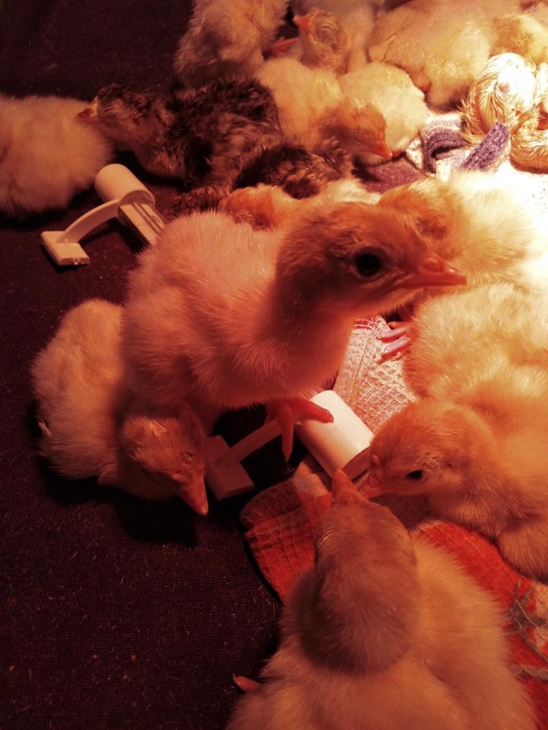 Индюшата и яйца индюшиные на инкубацию