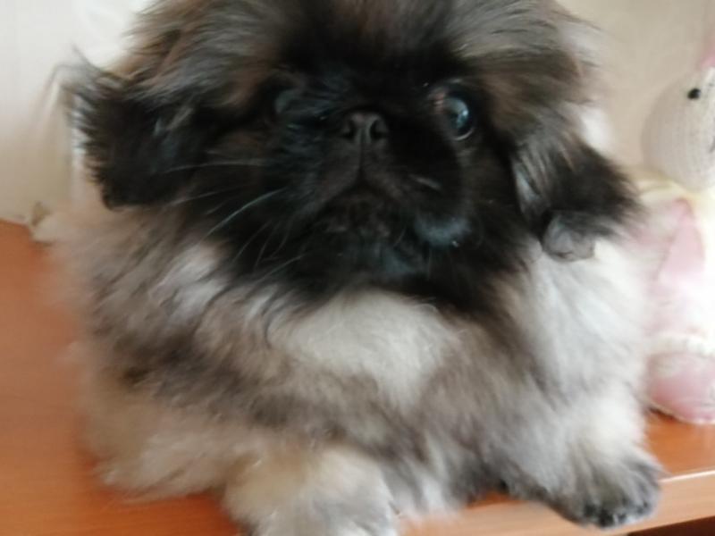 Пекинеса щенок мальчик