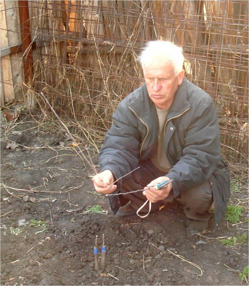 Саженцы полукультурки (сибирские сорта)