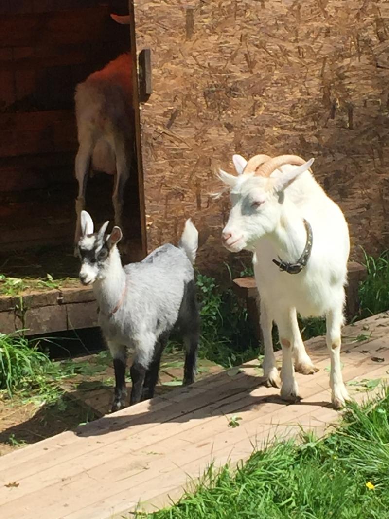 Продаются две зааненские козы