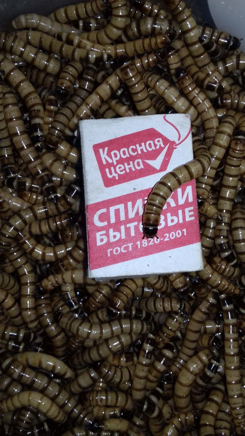 Зофобас живой корм для птиц 500 гр. за 500 р.