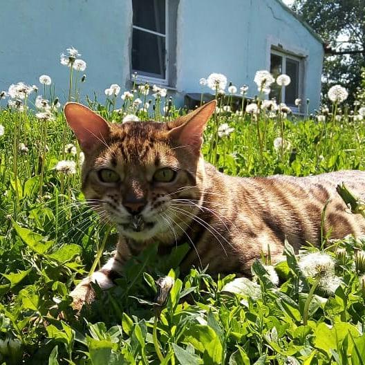 Шикарный бенгальский кот