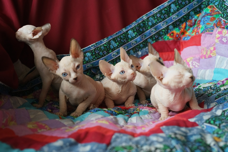 элитные котята канадского сфинкса