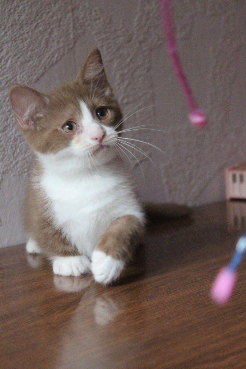 Манчкины котята-таксы
