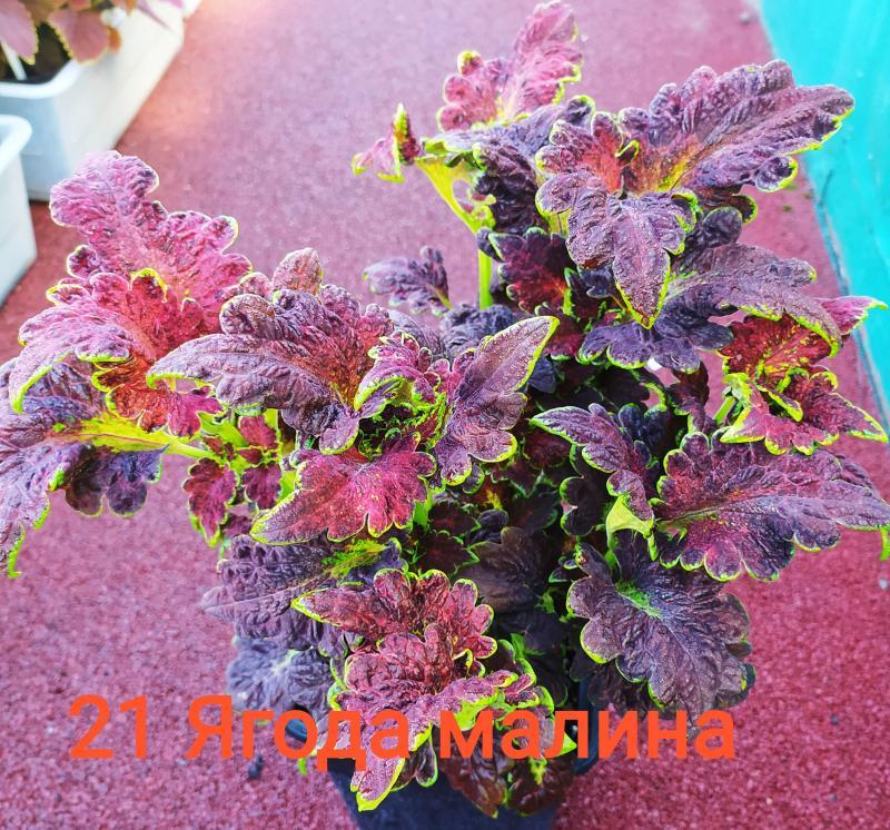 Цветы и растения Колеусы