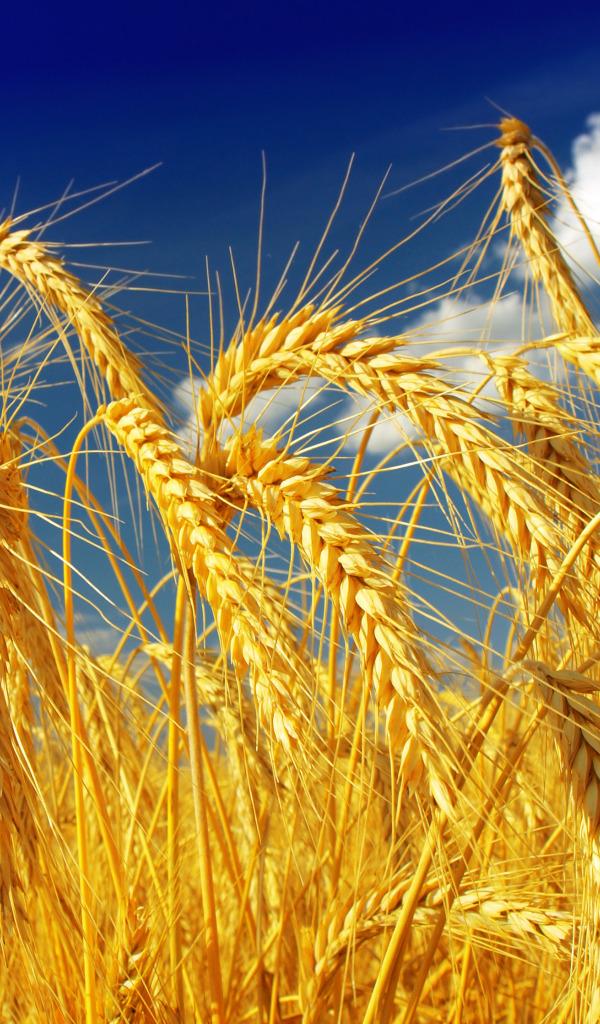 Куплю пшеницу кукурузу горох