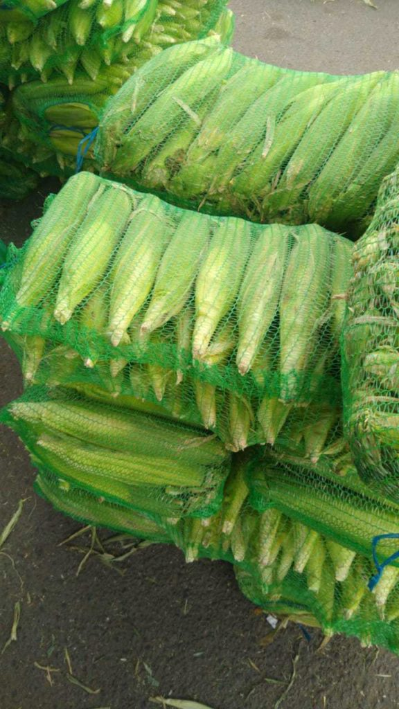 кукуруза в початках с поля