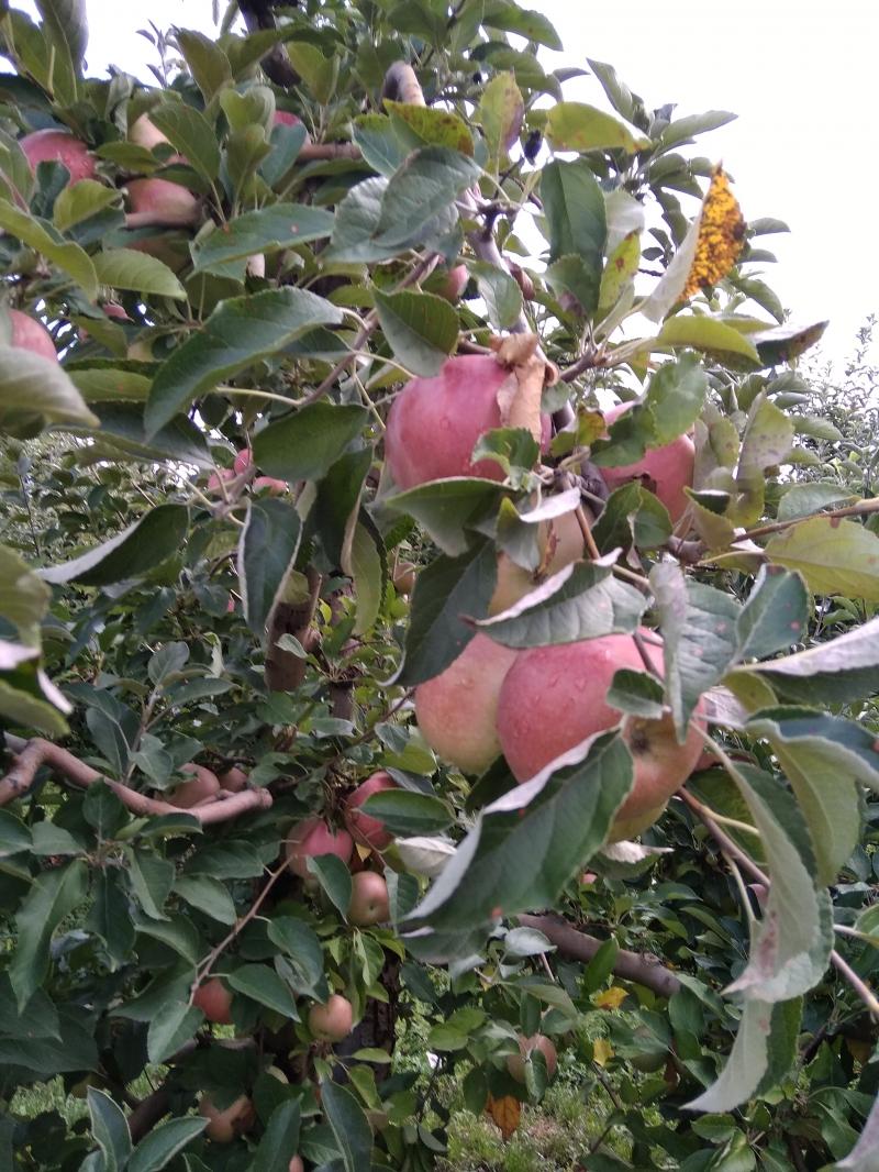 Продаём яблоки  с иммунного сада Айдаред,, Флорина