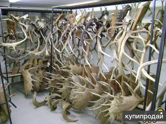 Куплю Рога (лося,оленя,марала,сайгака)