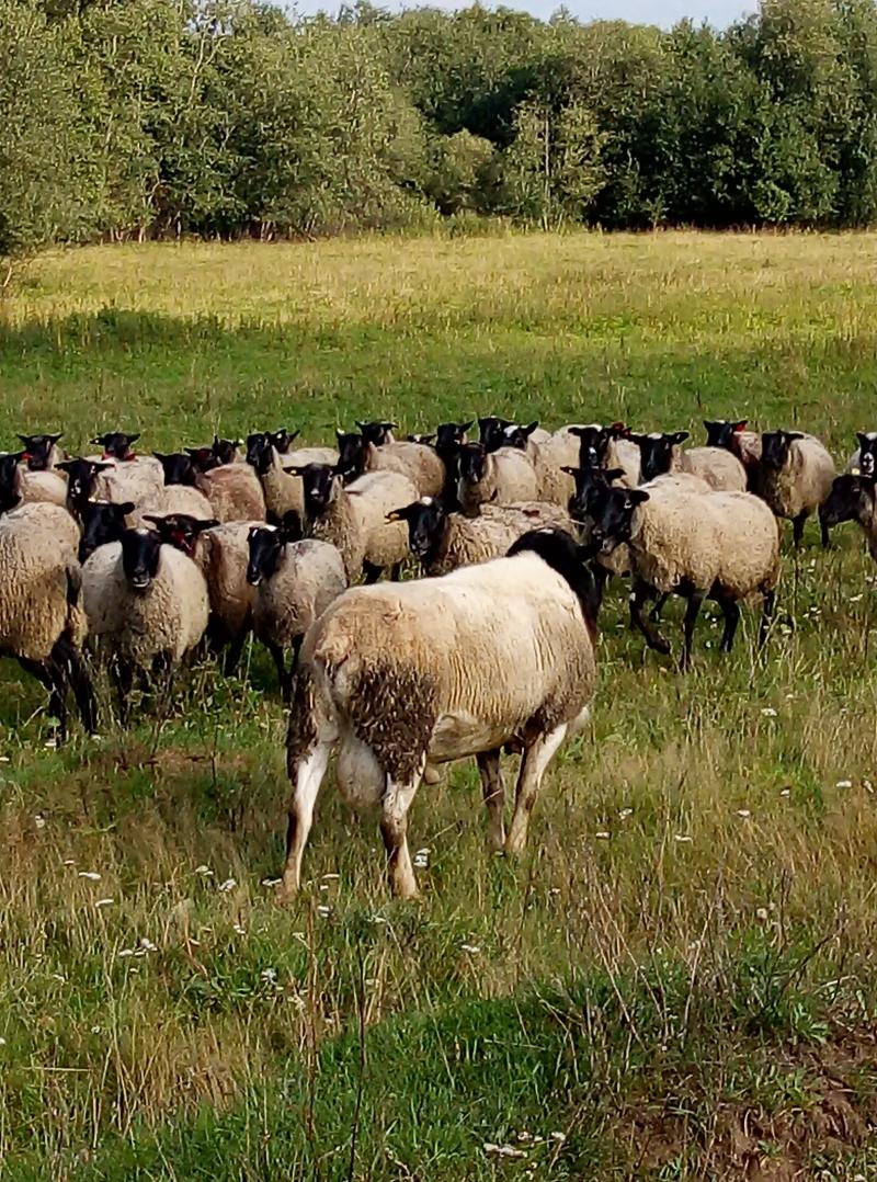 овцы.бараны.