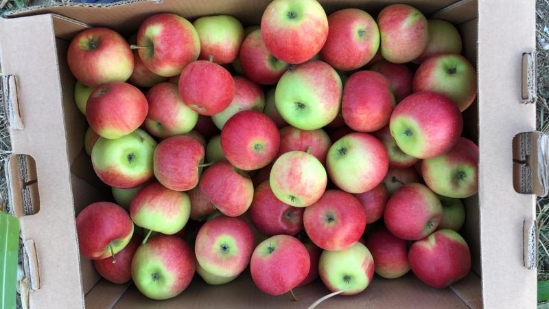 сорта яблок либерти фото и описание свой уже вполне