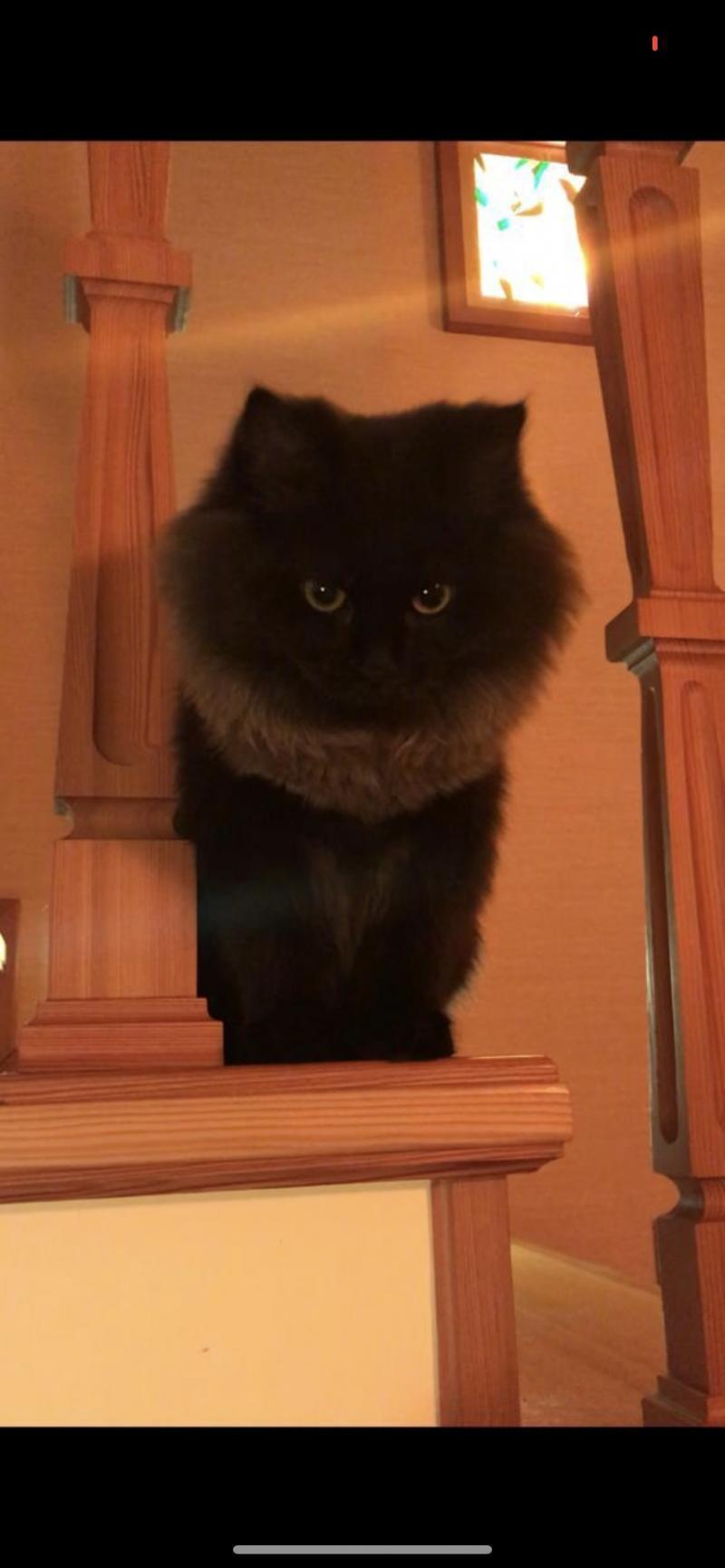 Котята Йоркской шоколадной кошки