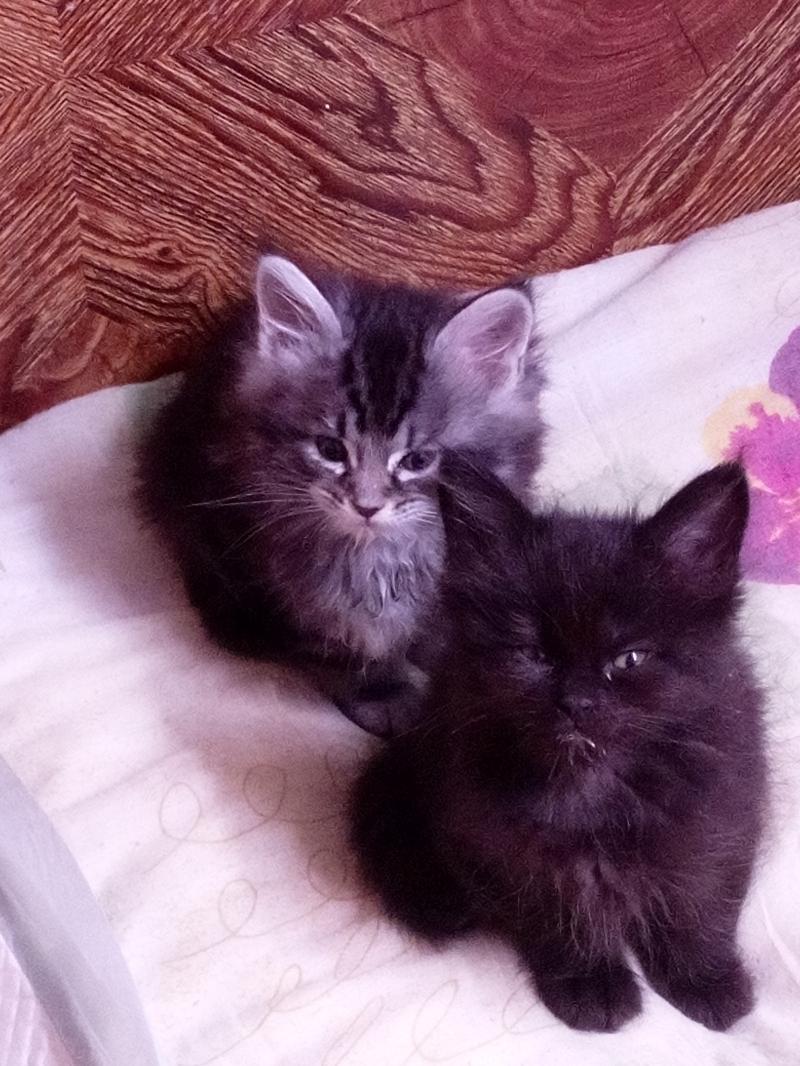 Продаются котята порода мейн-кун
