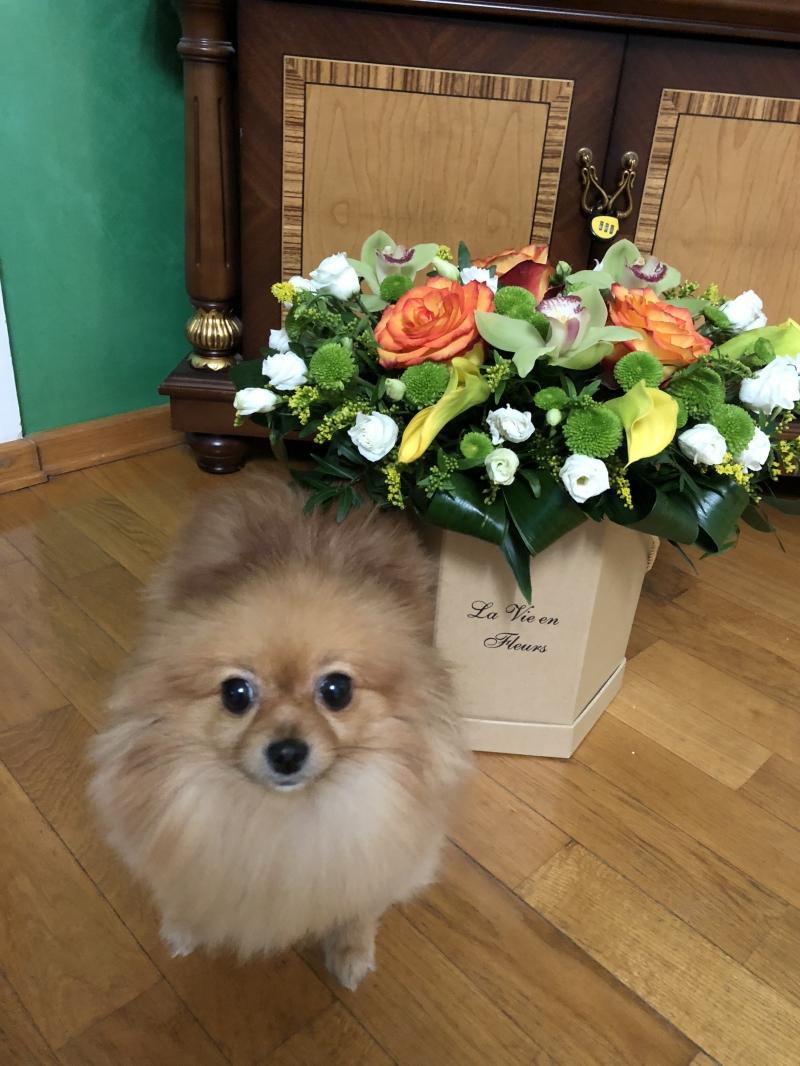 Продам взрослую собаку породы Шпиц