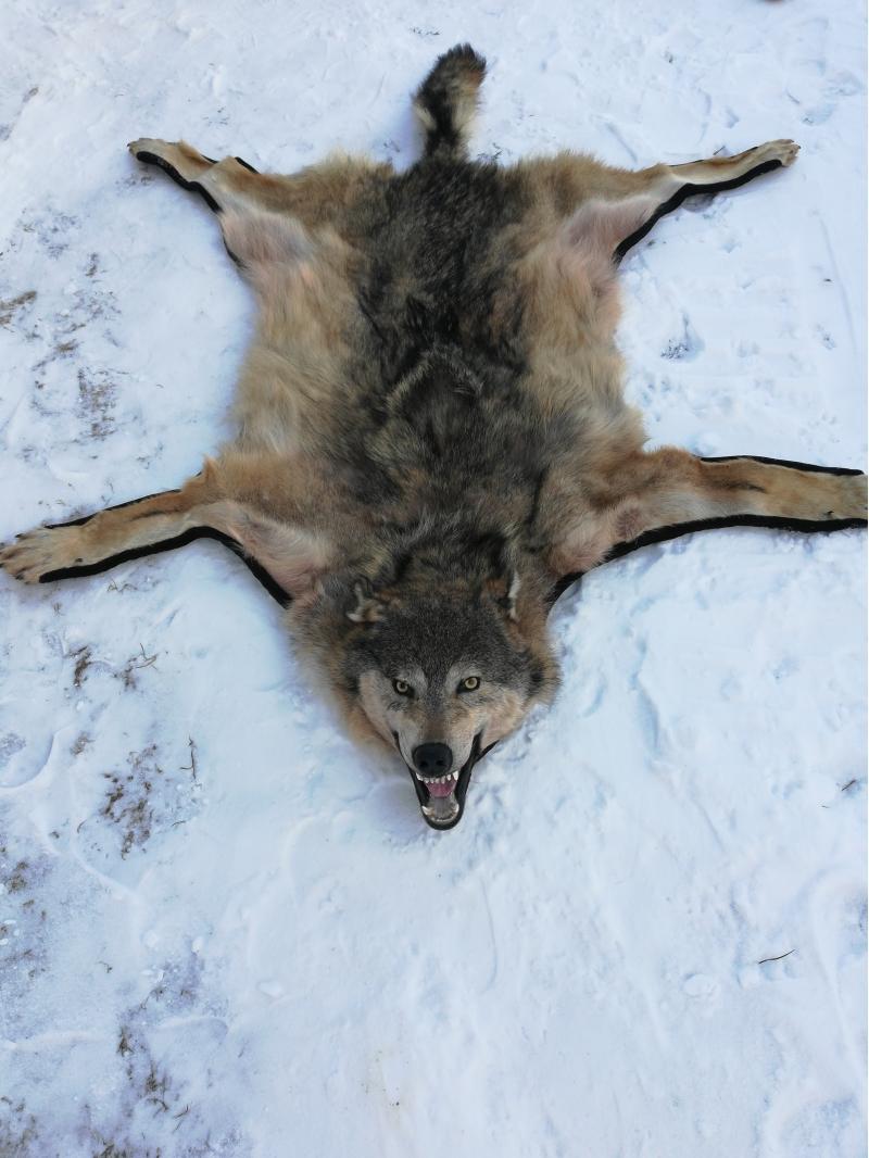 Продаю шкуры волка