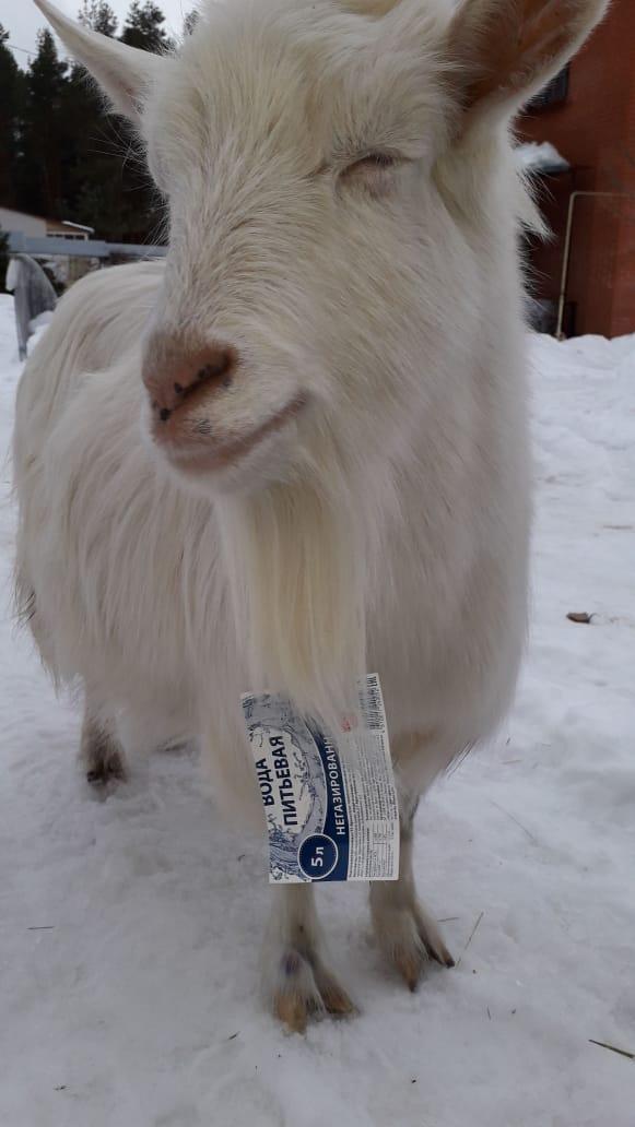 продам козье молоко