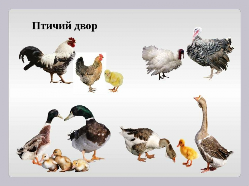 Нужны люди для ощипа домашней птицы